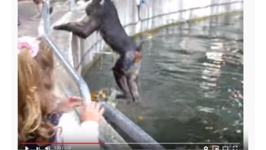 【必見オモシロ動画】マンドリルの動物園脱走劇